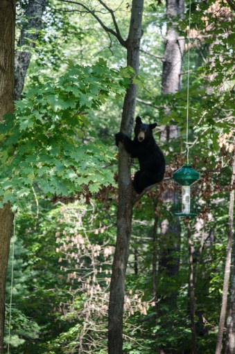 bear climbing to feeder