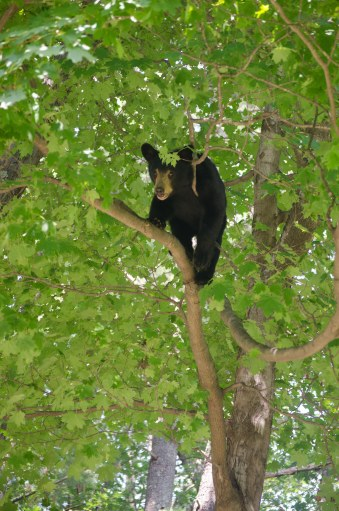 bear on limb
