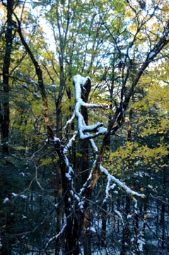 broken snow tree