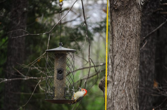 red-bellied woodpecker b