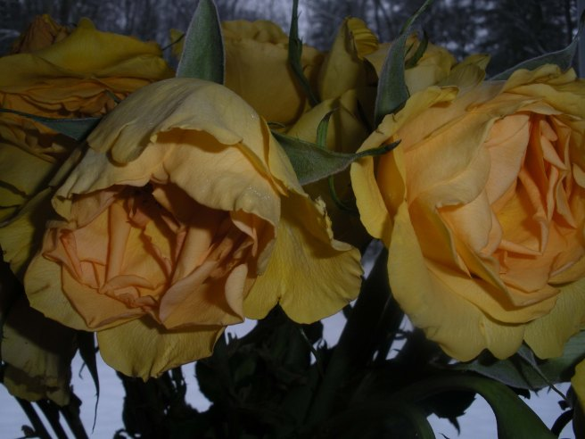 wilted yellow roses