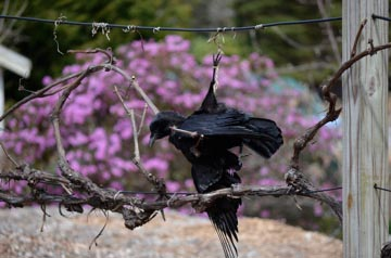 hanging crow in lilac blooms