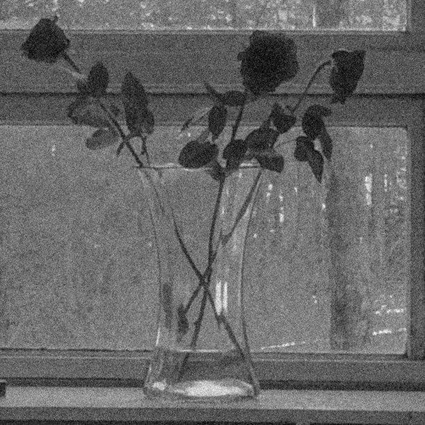 gray roses