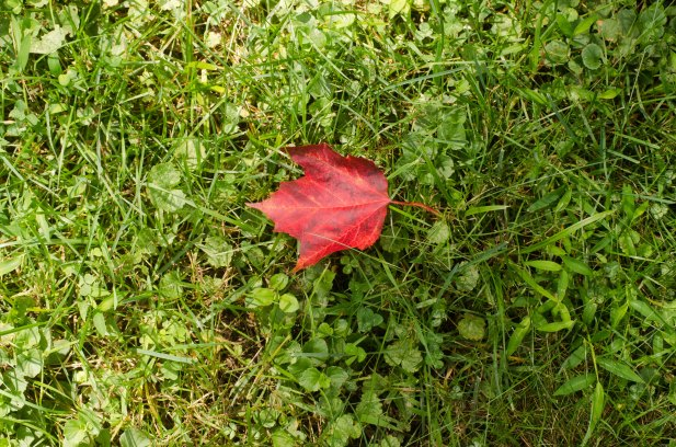 red-fall-leaf